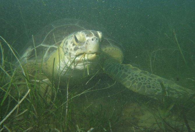 kusadasinda-en-buyuk-erkek-yesil-deniz-kaplumbagasi-kiyiya-vurdu-4980-dhaphoto3.jpg