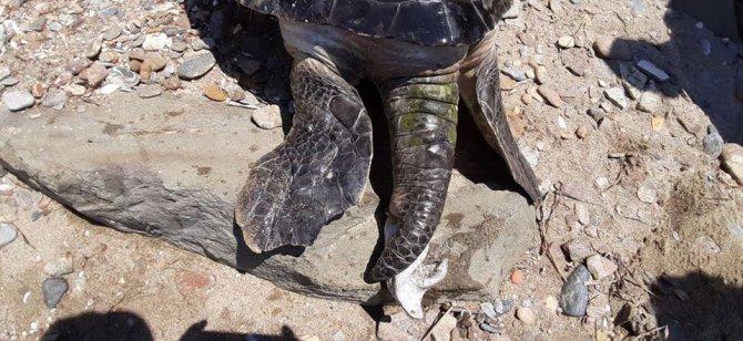 kusadasinda-en-buyuk-erkek-yesil-deniz-kaplumbagasi-kiyiya-vurdu-4980-dhaphoto5.jpg