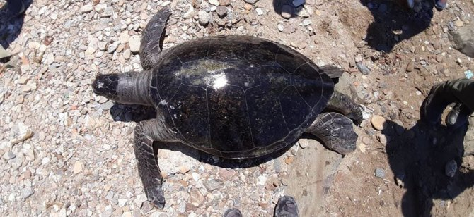 kusadasinda-en-buyuk-erkek-yesil-deniz-kaplumbagasi-kiyiya-vurdu-4980-dhaphoto9.jpg