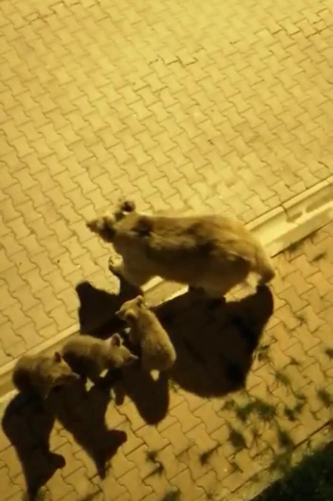 sarikamis-merkezine-inen-boz-ayi-ve-yavrulari-yiyecek-aradi-6080-dhaphoto1.jpg